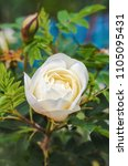 Small photo of Half-open bud of cream-colored wild rose. Rabid dog rose closeup