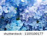 Stock photo blue hydrangea hydrangea macrophylla or hortensia flower with dew in slight color variations 1105100177
