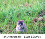 a pretty gray cat stalking... | Shutterstock . vector #1105166987