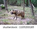 the striped hyena is a species... | Shutterstock . vector #1105203185