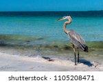 Birds Walking On The Sand Alon...
