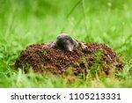 mole in garden. talpa europaea  ... | Shutterstock . vector #1105213331