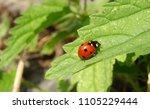 Ladybug On The Leaf             ...