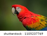 detail of parrot scarlet macaw  ...   Shutterstock . vector #1105237769