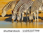 animals drinking water. plains...   Shutterstock . vector #1105237799
