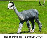 Small photo of Gorgeous Silver Alpaca enjoying a trot on a sunny day