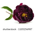 dark purple peony flower on a... | Shutterstock . vector #1105256987