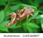 an angle shade moth up close | Shutterstock . vector #1105260857