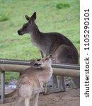 Small photo of Small kangaroo baaing