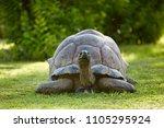 Stock photo giant tortoise on the grass bird island seychelles 1105295924