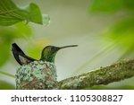 Hummingbird  Copper Rumped...