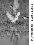 little egret and black crowned... | Shutterstock . vector #1105311581