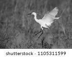 little egret landing on the... | Shutterstock . vector #1105311599