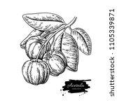 acerola fruit vector drawing.... | Shutterstock .eps vector #1105339871