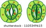 structure of stomatal complex... | Shutterstock .eps vector #1105349615