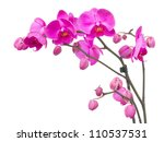 Stock photo orchid branch with violet flowers isolated on white background 110537531