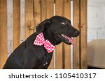 black dog with a pink tie in a... | Shutterstock . vector #1105410317