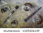 Small photo of Plast rock with petrified ammonites and belemnites, fossil animals are processed and polished.