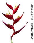 Stock photo red flower buds on white background 1105445084