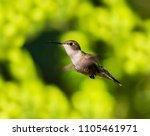 ruby throated hummingbird... | Shutterstock . vector #1105461971