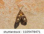 the amah moth at rest in the... | Shutterstock . vector #1105478471