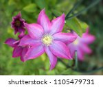 pink and white clematis flower... | Shutterstock . vector #1105479731