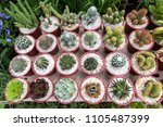 various kinds of cactus ...   Shutterstock . vector #1105487399