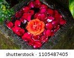 rose leaves floating on the...   Shutterstock . vector #1105487405