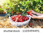 child picking strawberry on... | Shutterstock . vector #1105494491