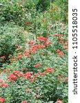 mini red rose in the garden | Shutterstock . vector #1105518035