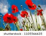 beautiful flowers poppies...   Shutterstock . vector #1105566635