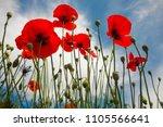 beautiful flowers poppies...   Shutterstock . vector #1105566641