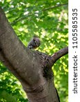 Small photo of American Robin Baby bird is sitting on the tree with green leaf background.