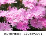 Small photo of Dianthus, supra pink