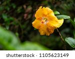 yellow hibiscus flower in the... | Shutterstock . vector #1105623149