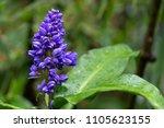 purple viola flower at tagaytay ... | Shutterstock . vector #1105623155