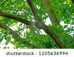 closeup of a white nest of oak... | Shutterstock . vector #1105636994