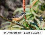 a southern boubou perched in an ... | Shutterstock . vector #1105666364