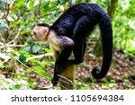 White Headed Capuchin  Black...