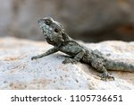 the lizard sits on a rock | Shutterstock . vector #1105736651