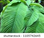 green mahogany leaf    Shutterstock . vector #1105742645