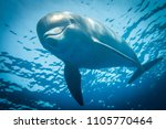 dolphin swimming in the red sea ... | Shutterstock . vector #1105770464