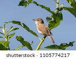 blyth's reed warbler sitting on ... | Shutterstock . vector #1105774217