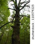 dry tree oak | Shutterstock . vector #110579225