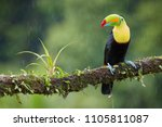 famous tropical bird with... | Shutterstock . vector #1105811087