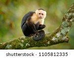 white headed capuchin  black...   Shutterstock . vector #1105812335