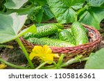 Small photo of Fresh cucumbers in a basket in the garden in the garden among the sprouts of cucumber and ovary flowers