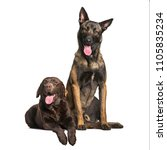 labrador and malinois dogs... | Shutterstock . vector #1105835234