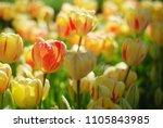 beautiful yellow tulips in a... | Shutterstock . vector #1105843985