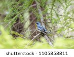 northern parula perched in the... | Shutterstock . vector #1105858811